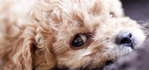 Cavoodle Love - Puppies Sydney